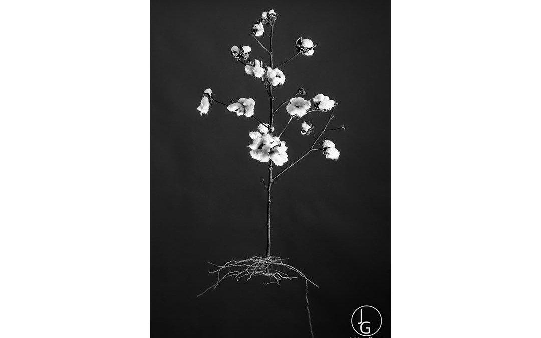 HarCo Cotton 3