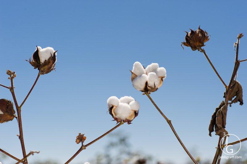 Cotton by Jebb Graff