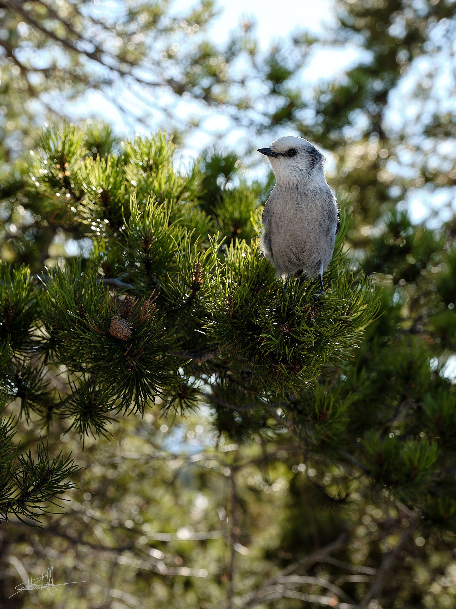 Gray Jay | Photo by Jebb Graff